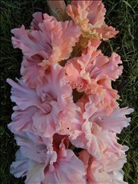 Гладиолус Розовое гофре
