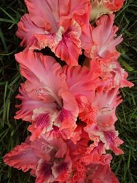 Гладиолус Розовые облака